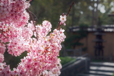 Cherry Blossoms at the Japanese Garden in Huntington Gardens