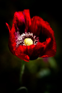 Red Poppy   * * * * #poppy #flower_perfection  #flowerslovers  #flowergram  #flowersofinstagram  #instaflower  #petal_perfection  #splendid_flowers #blossom #loves_blossom #paradiseofpetals #explore_floral #allthingsofbeauty_  #flowersandmacro  #macro_captures #fotofanatics_macro  #macrophotography #macro_brillance  #macro_vision  #macro_highlight  #magicmacroworld #macro_moms   #naturelovers #naturecapture #nature_perfection #allthingsofbeauty_ #allkindsofmagic  #lensbaby #lensbabyvelvet56 #lensbabywhatif