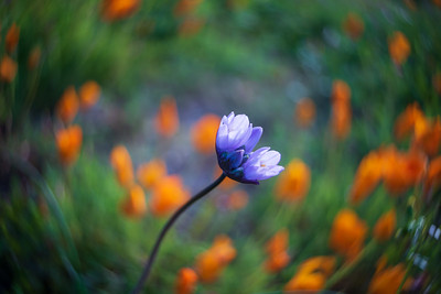 School Bell among California Poppies