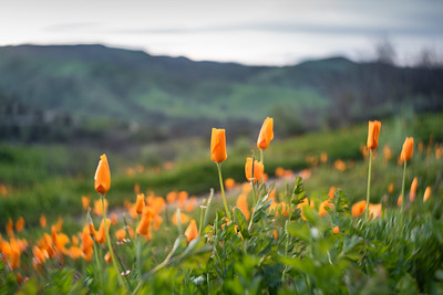 California Poppies Blooming in the Spring