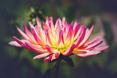 Dahlia at Sherman's Library and Gardens, Corona del Mar, CA