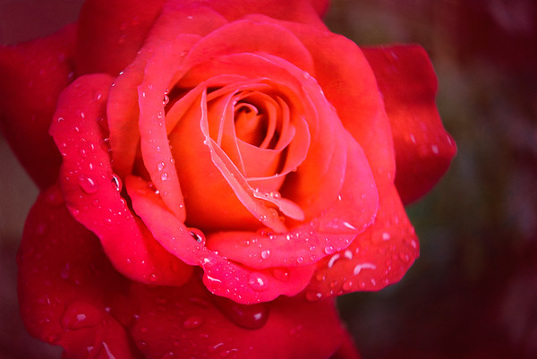 Red Rose after the Rain