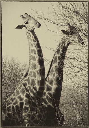 African Animals - Series l (2)