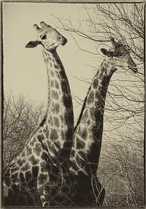 African Animals - Series l (2)