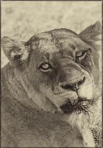 African Animals - Series l (3)