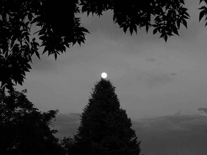 Blue spruce perch