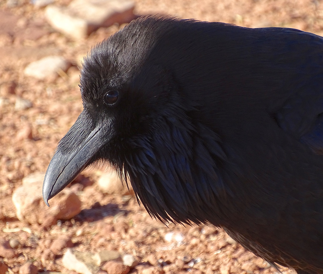 Great profile, and look at those beak feathers