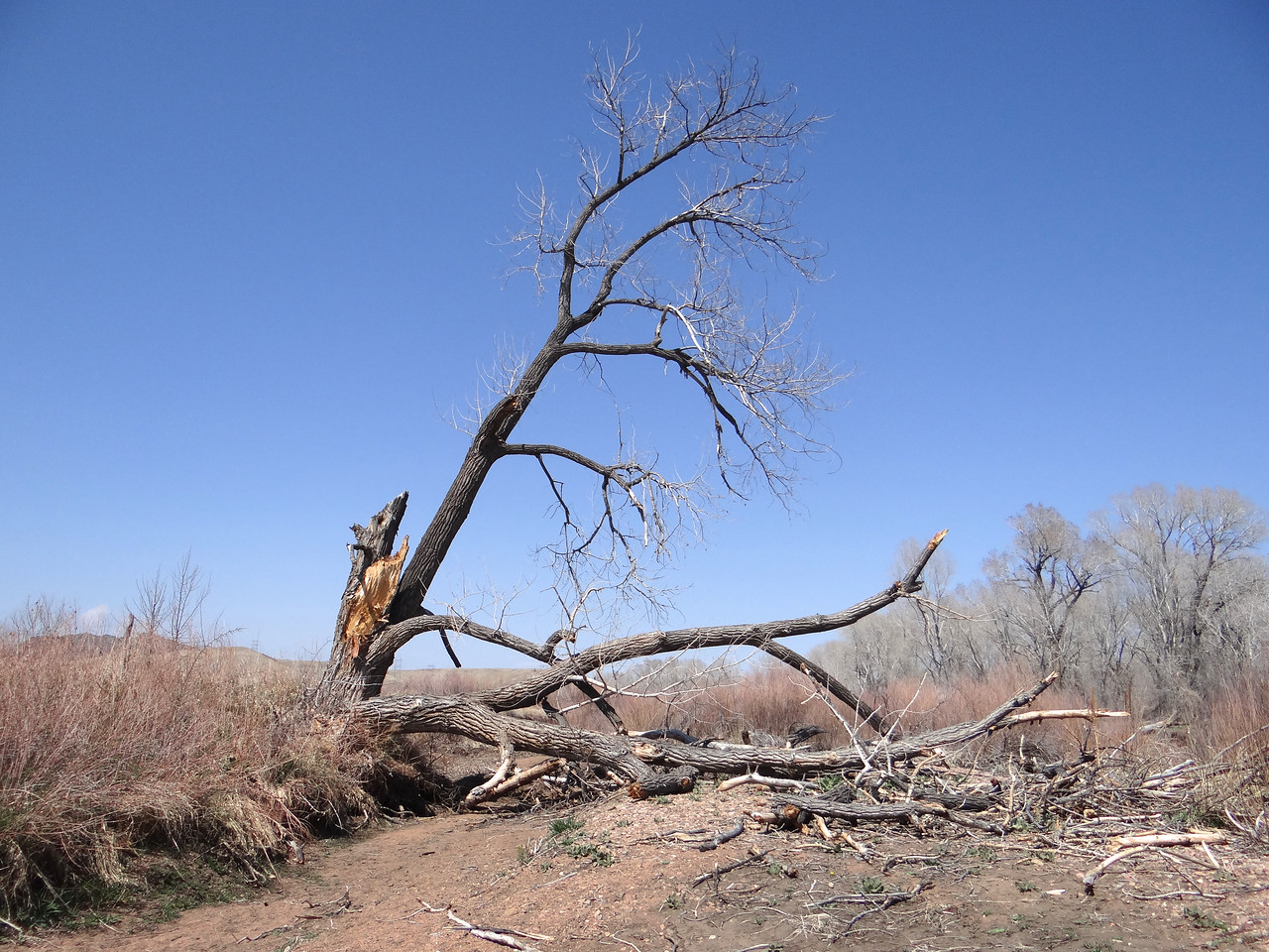 Colorado's high winds often prune cottonwoods