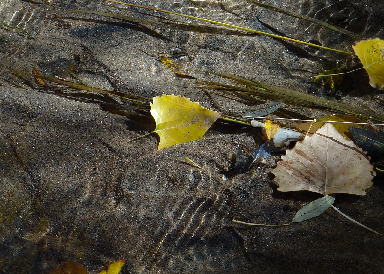 Cottonwood leaves light up a shallow pool in Bear Creek