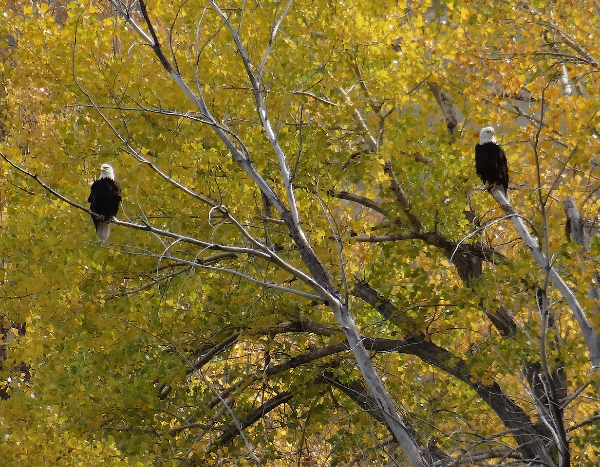 Pair of baldies grace a cottonwood