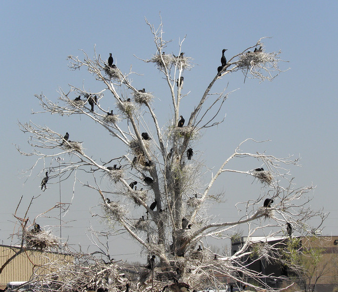 How many cormorant nests can one cottonwood hold?