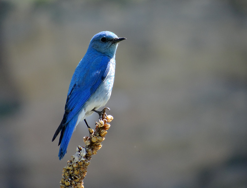 Mountain Bluebird lights up a summer morning