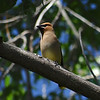 Waxwing watching