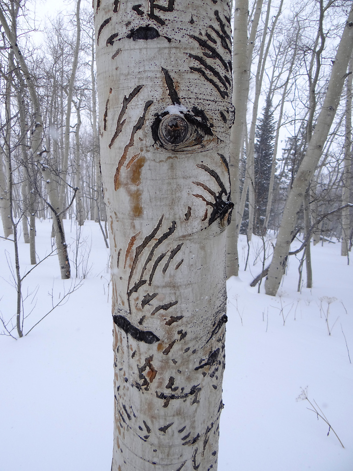 These bear claw marks went up this aspen about 15 ft. Makes you glance over your shoulder, even if they should be hibernating. Near Tabernash, CO.
