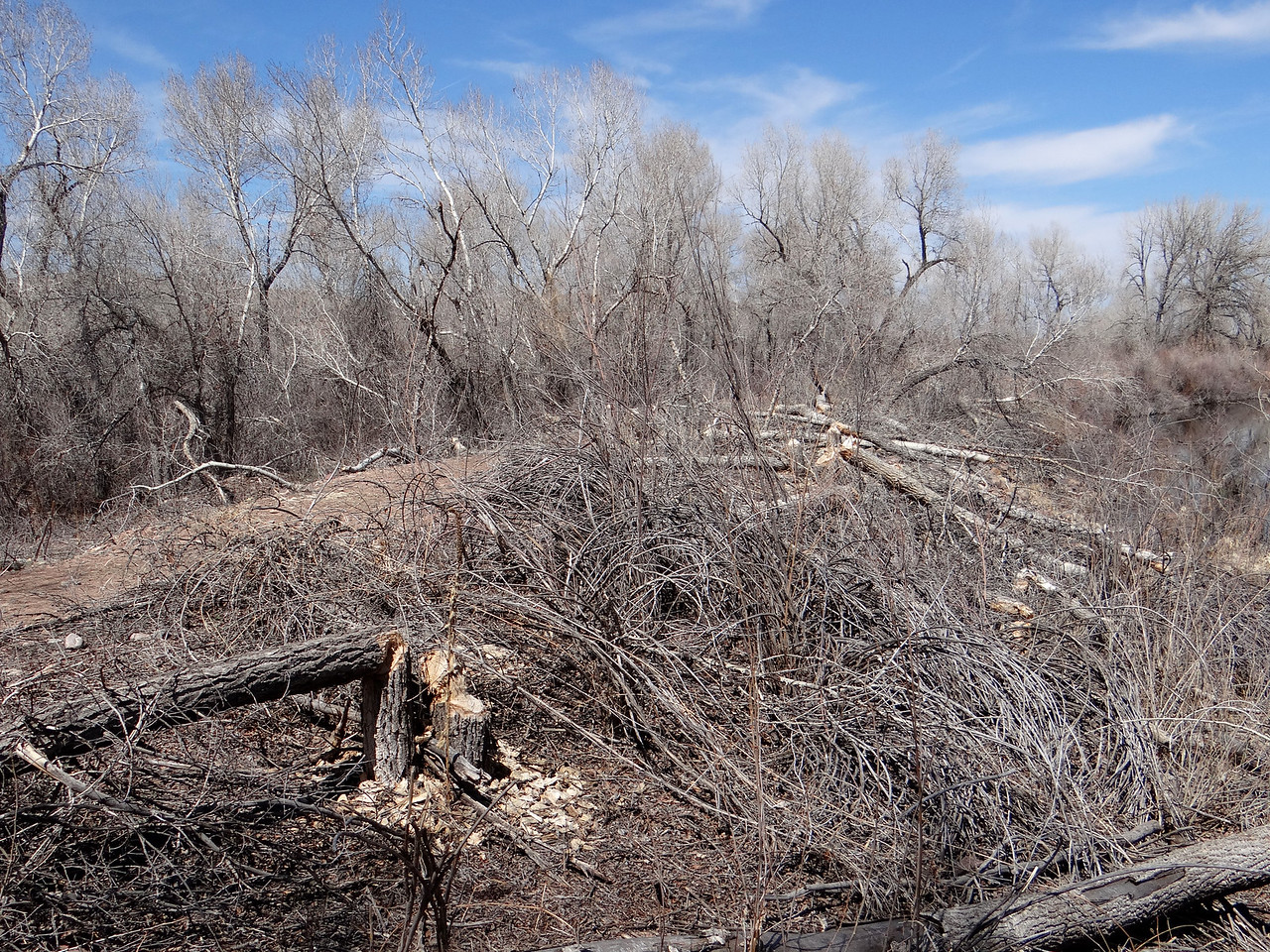 Beavers have had a big impact on the cottonwoods along the South Platte River in Douglas County.