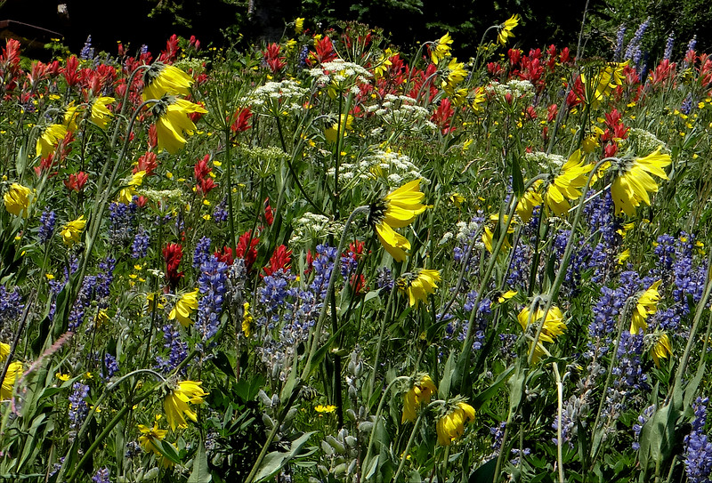 The most amazing wildflower meadow ever- on Rabbit Ears Pass outside of Steamboat Springs.