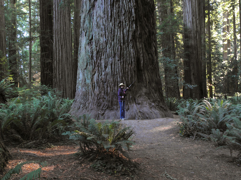 Speaking of trees, here's Deda, dwarfed by a California redwood.