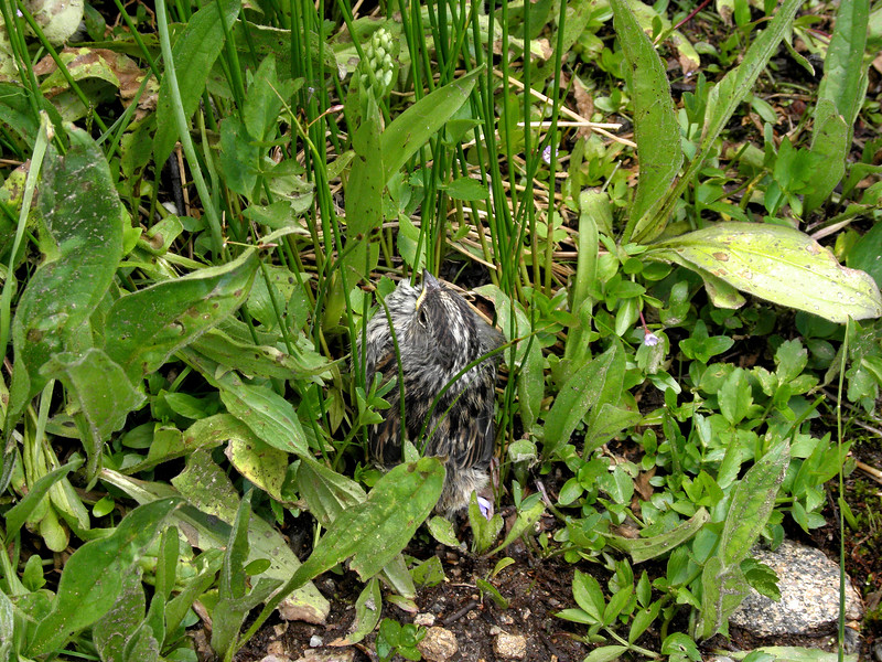 I almost stepped on this baby white-crowned sparrow in the bushes on Loveland Pass. He never moved a muscle.