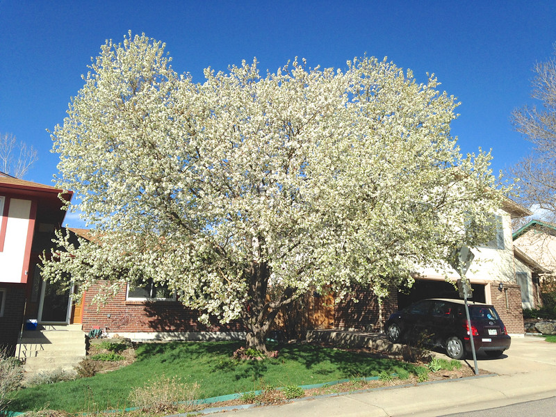 Speaking of trees, this beautiful flowering crabapple is the most beautiful tree in our neighborhood. Here it is on Friday, April 15.