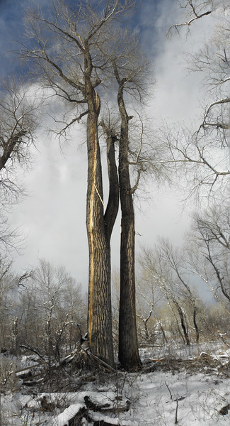 You can see this lightning strike all the way to the top of this cottonwood. Exploded bark was all over the place.