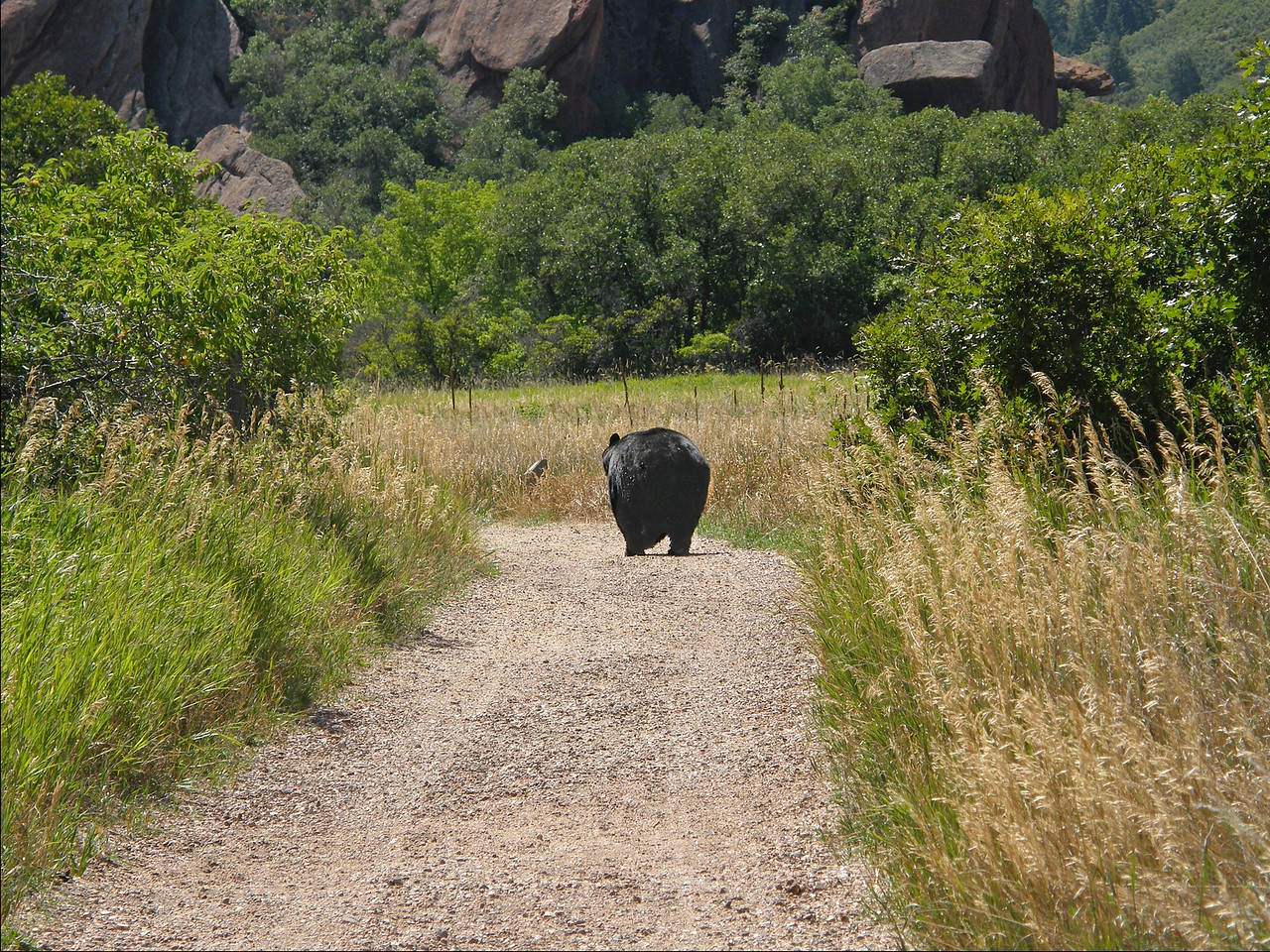 A Colorado Black Bear in late summer- so fat he/she was waddling. Compare its size with...  (SCROLL DOWN FOR MORE)