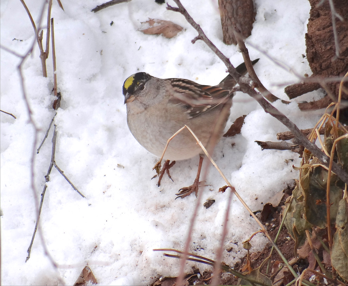 Why this poor photo? Well, to show you this Golden-Crowned Sparrow who should be in California with all the other G-CSs, but who somehow ended up at the feeders behind the Red Rocks visitor's center a thousand miles from home. Along with a bunch of SERIOUS! bird photographers and their huge lenses!