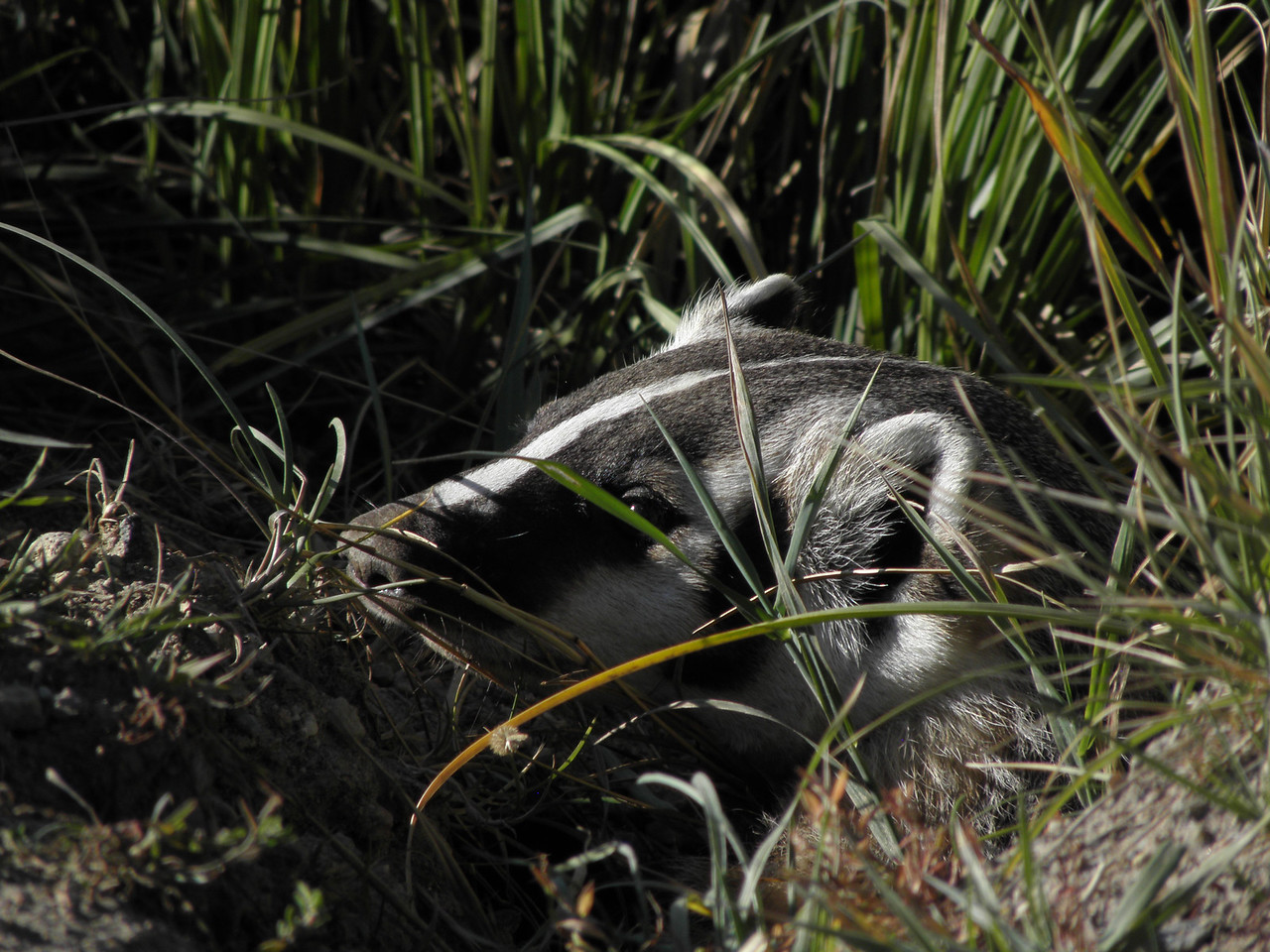 My first badger as he (she? I don't know- YOU look!) poked his/her head out of a culvert at Steamboat Lake. If you'd like to see a video of this badger as it came out of this culvert- https://www.facebook.com/rex.nelson.9/videos/vb.1266099361/4560435650043/?type=3&theater