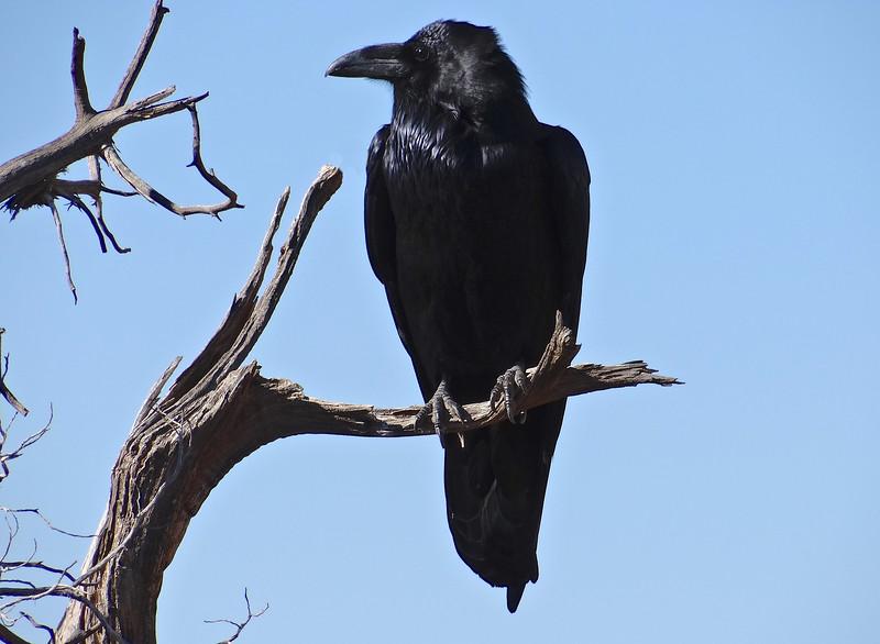 Raven posing