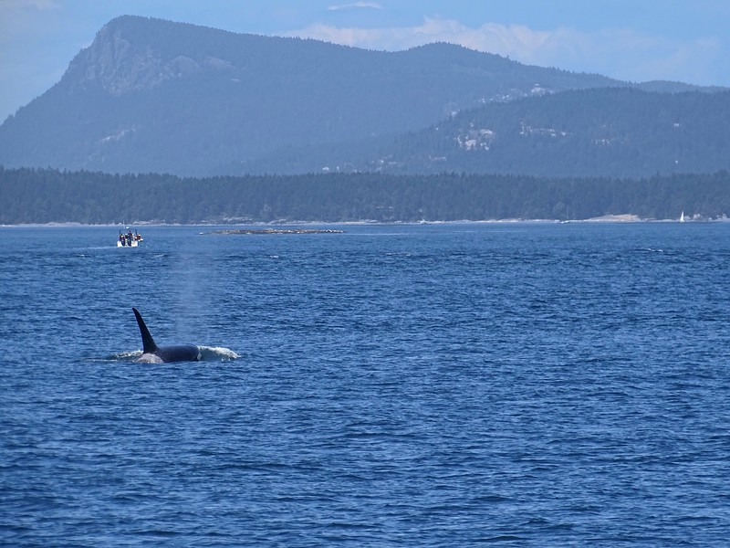 Look at the bow wave this orca is pushing! Be assured that we weren't as close as this looks.