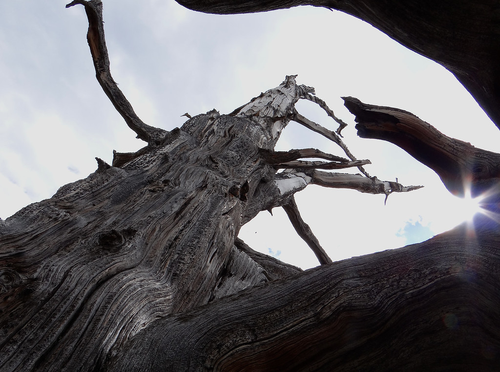 Ancient bristlecone pine, ancient star