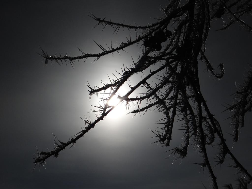 Hoar frost silhouette
