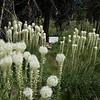 Beargrass @ Nez Perce trail