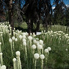Beargrass @ Nez Perce trail