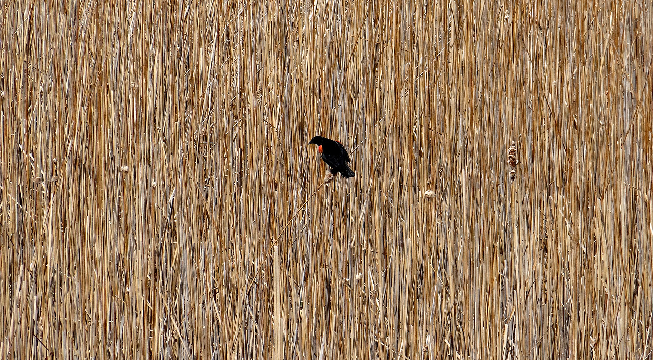 Red Winged blackbird in his element