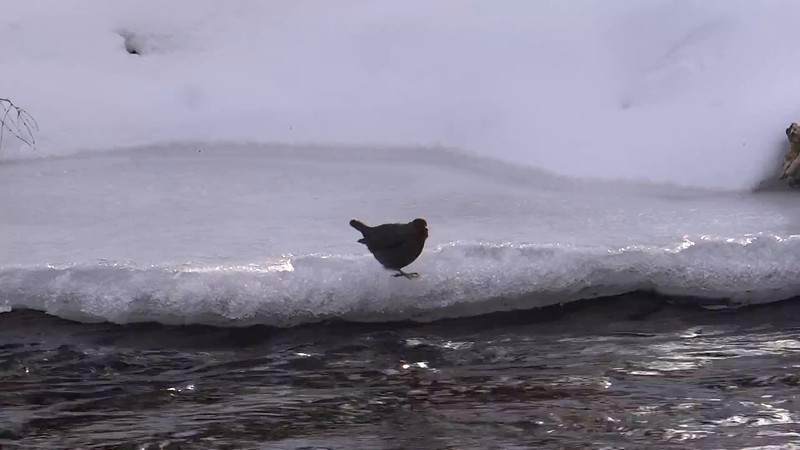Dippers have three layers of feathers to keep them warm in icy waters