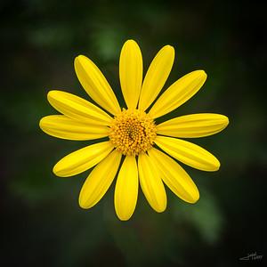 Margurite Daisy