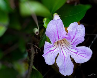 Violet Trumpet Vine