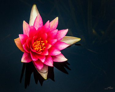 Water Lilly 1