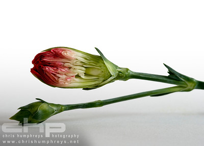 Red Carnation in bud cross section
