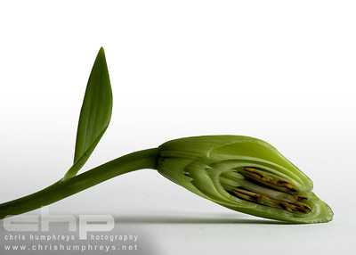 Lily in bud cross section 2