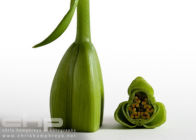 Lily in bud cross section 1