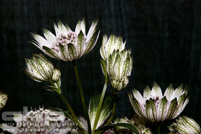 Astrantia Major, Hartford, England