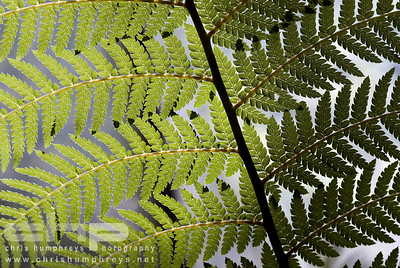 Fern leaves, Edinburgh Botanics, Scotland