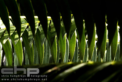 Palm leaves, Edinburgh Botanics, Scotland