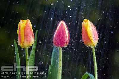 Tulips having a drink