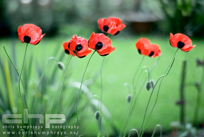 ladybird Poppies blowing the in the breeze, Heriot, Scotland