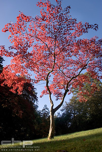 Japanese Maple in the autumn sun, Lake District, England