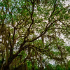 Spanish Oak Tree with Spanish Moss