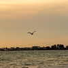 Siesta Keys Sunset with Pelican in Flight