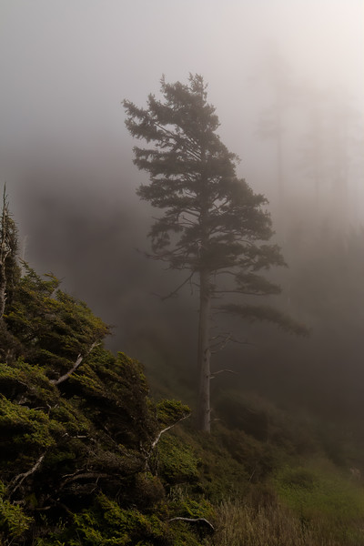 Lonely Tree In Ecola Fog